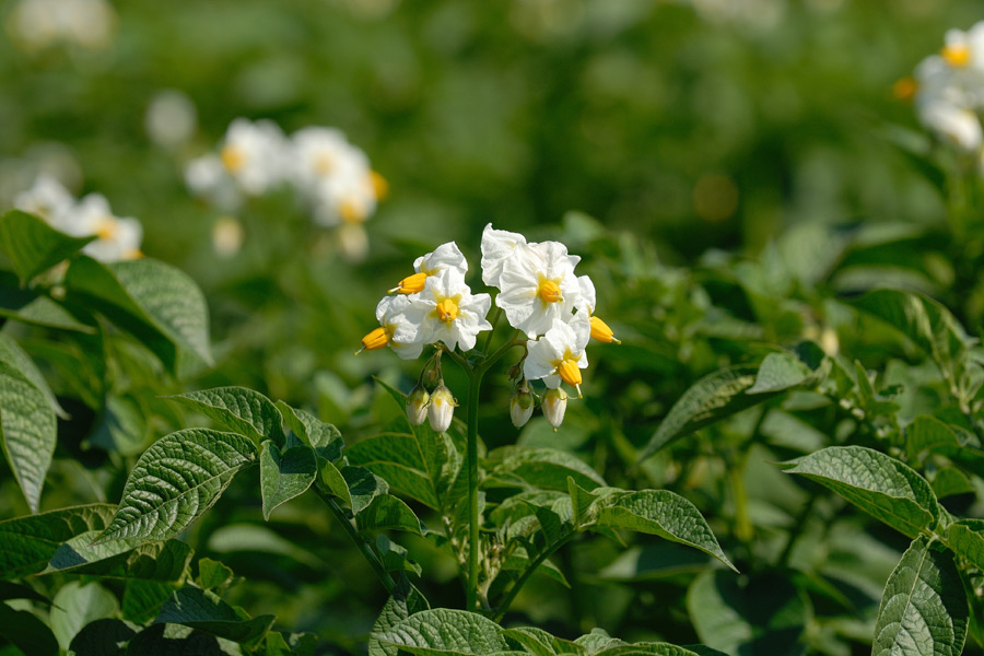 Potato flower (Photo: Wedekind)