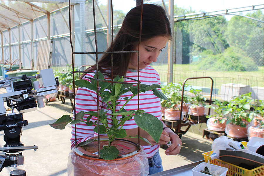 Henriette Quehl conducts research in the exterior greenhouse facility of the Division of Quality of Plant Products and IAPN. Among other issues, she researches the influence of potassium and drought stress on leaf gas exchange in potato plants. (Photo: IAPN)
