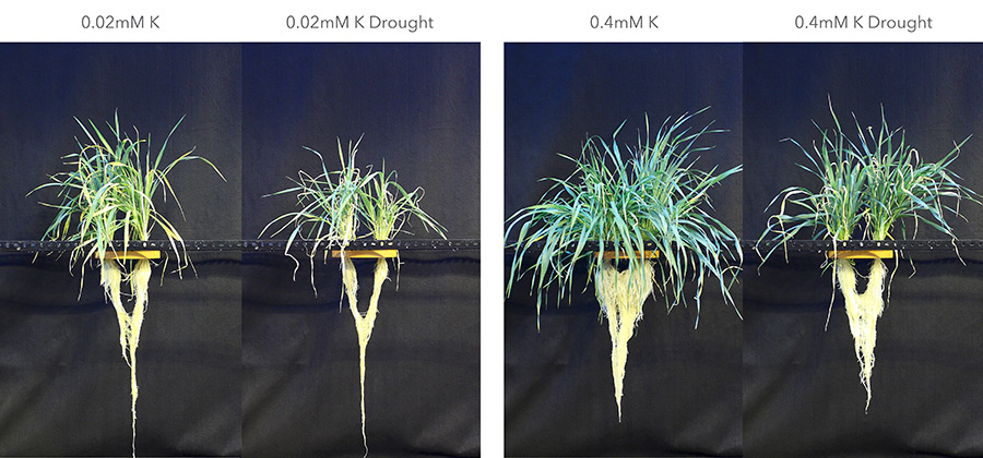 Spring barley treated with low potassium (0.02 mM K) and adequate K supply (0.4 mM K) under well-watered and drought conditions. (Photos: Tavakol, IAPN)